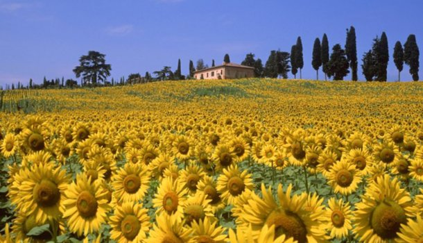 sunflowers tuscany
